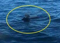 Khâm phục chú chó bơi ra biển, cứu nai con đuối nước vào bờ