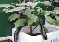 Cách trồng cà tím trong thùng xốp cho quả sai trĩu cành