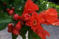 Hoa lựu: 'Thần dược' giàu dưỡng chất ít người biết