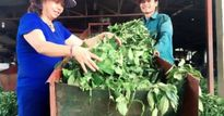 Nông dân Việt Nam xuất sắc 2017: Chị Nụ đưa chè Tây Bắc ra thế giới
