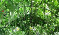 Mẹ Việt xứ Đài trồng vườn rau 'gì cũng có' để đỡ nhớ nhà