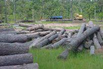 Đằng sau việc chuyển đổi 100 nghìn hecta rừng ở Tây Nguyên