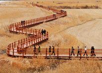 Cánh đồng lau sậy lớn nhất Hàn Quốc