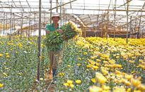 Giá hoa cúc Đà Lạt bất ngờ tăng cao