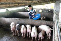 Khó kiểm soát chất thải trong chăn nuôi ở Lào Cai