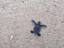 Thả hơn 100 rùa con về biển Hòn Cau