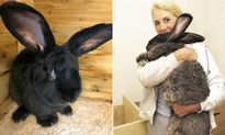 Thỏ khổng lồ chết sau chuyến bay, United Airlines bị kiện
