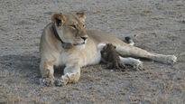 Hiếm gặp: Báo con lao vào bú nhờ sư tử