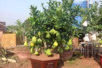 Tự trồng cây phật thủ cho quả sai trĩu quanh năm