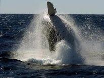 Cá voi hất tung tàu cá lên trời, 4 người nhập viện