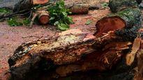 Đắk Nông: Thông khô đổ đè chết hai mẹ con