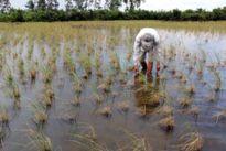 Xuống giống hơn 1.000 ha lúa ngoài vùng quy hoạch, nguy cơ ảnh hưởng khi lũ về