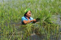 Lũ ĐBSCL lên nhanh nhấn chìm hàng trăm hecta lúa, nhiều nơi 'mất ăn'