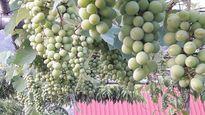 Những vườn quả trĩu trịt trên sân thượng