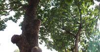 TP.HCM: 'Hy sinh' hàng trăm cây xanh để giảm ách tắc giao thông