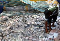 Cá nóc nhiều bất thường gây thiệt hại cho ngư dân