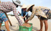 Ngư dân vùng bãi ngang Quảng Trị trúng mùa ruốc biển