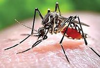 Khánh Hòa hoãn kế hoạch thả muỗi loại trừ sốt xuất huyết, Zika