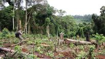 Giám đốc, Phó GĐ công ty lâm nghiệp để mất rừng bị khởi tố