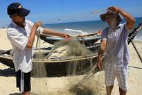 Cá nóc xuất hiện nhiều bất thường, cắn phá ngư lưới cụ ngư dân