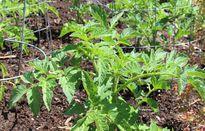 'Lạ đời' cách trồng cà chua cực nhanh không cần gieo hạt, không cần mua cây giống