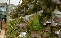 Trồng rau thủy canh giúp nông dân Đà Lạt 'hái ra tiền'