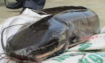 Bà nội trợ phải 'chết khiếp' với loại cá trê phi 10kg/con