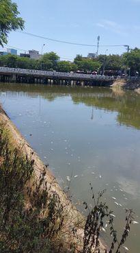 TP. Đà Nẵng: Cá chết trắng trên sông Phú Lộc
