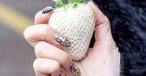 Dâu tây 'bạch tạng' khủng 200.000 đồng/quả được ví như 'ngọc trắng'