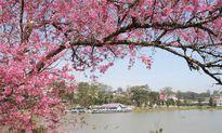 Lễ hội hoa anh đào sẽ được tổ chức tại Đà Lạt