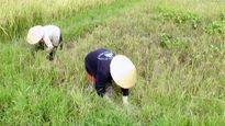 'Chóng mặt' vì lúa nhiễm bệnh lùn sọc đen