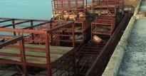 Gần 7 tấn lợn chết bốc mùi hôi thối cập cảng ở Quảng Ninh
