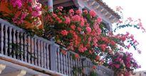 Muốn nhà 'nổi nhất phố', đừng bỏ qua cách trồng hoa giấy rực rỡ trên ban công