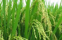 Đặc tính giống lúa Một bụi đỏ Hồng Dân