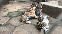 Vườn thú ở Củ Chi nuôi nhốt trái phép 3 con báo