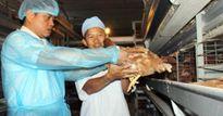 Sau lô gà Việt đầu tiên đi Nhật, tiềm năng xuất khẩu rộng mở