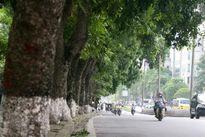 Hà Nội: Tiếp tục chặt hạ, dịch chuyển 130 cây xanh trên đường Kim Mã