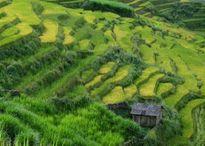 Vùng cao Y Tý vào mùa gặt tháng 9