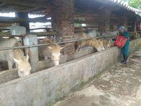 Thái Nguyên: Hiệu quả từ mô hình chăn nuôi gia súc bản địa ở Phú Lương