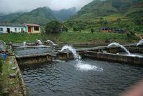 Lào Cai: Khai thác thế mạnh vùng cao phát triển nuôi cá nước lạnh