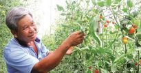Vườn cà chua bảy sắc cầu vồng đẹp mê mẩn của lão nông khởi nghiệp