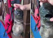 Quái vật cá mặt xấu nhiễm phóng xạ có thêm miệng mọc ở thân