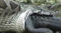 Cá sấu lên bờ bị trăn Miến Điện nuốt chửng