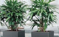 2 cây cảnh phải trồng trong nhà để tiền vào như nước, thăng quan tiến chức không ngừng