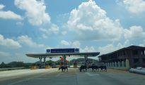Ô tô tá hỏa khi 'đụng' gia súc thong dong đi trên đường cao tốc