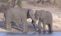 Khi những con voi đực đồng tính công khai yêu đương