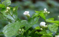 Cây hoa nhài thơm nồng vườn nhà lại làm thuốc hiệu quả không trồng quá phí