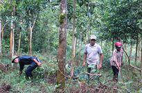 Chuyện những 'cổ thụ' giữ rừng