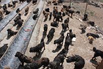 Chó ngao Tây Tạng tiền tỷ bị vứt ra đường như chó hoang