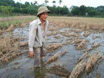 Nhiều hộ nông dân huyện Ba Vì đối mặt với nguy cơ mất mùa